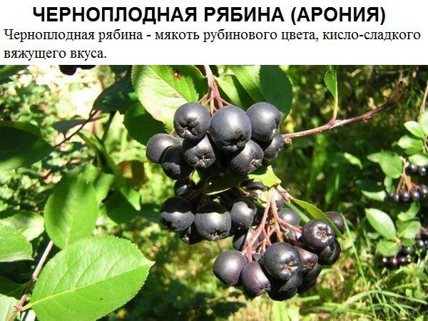 Черноплодная рябина (Арония).jpg