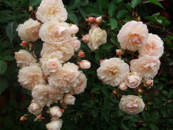 Вьющаяся роза Глория