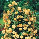 Вьющаяся роза Желтая