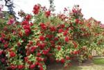 Вьющаяся роза Красная